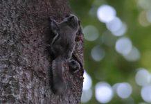 Kaksi liito-oravan poikasta